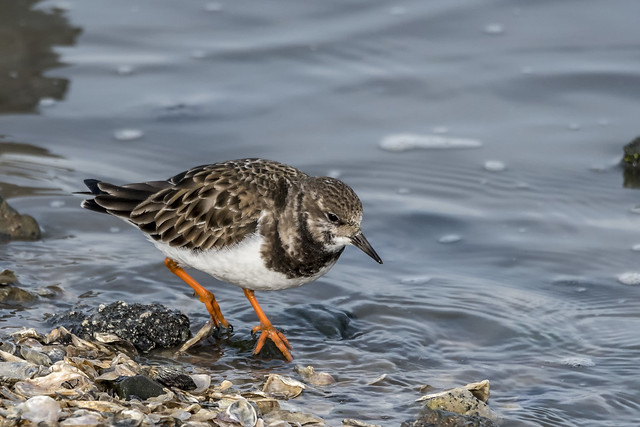 Ruddy Turnstone ©