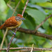 Barred Antshrike (female) by pgloyer