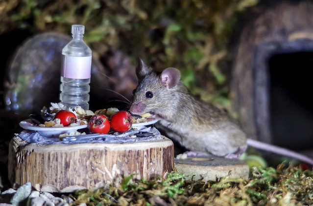 wild house mice at night  in the garden  (10)
