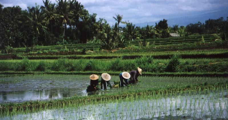 Reisbauern 1
