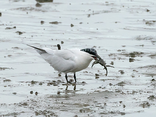 Gull-billed Tern (Gelochelidon macrotarsa)