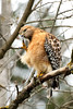 Red-shouldered Hawk (Buteo Lineatus) by Adventurous Dragon