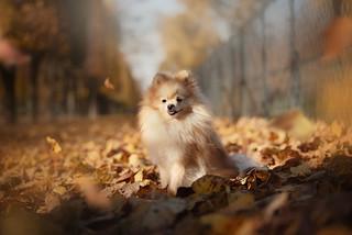 Little pomeranian in fallen leaves   by TheLittlePaws