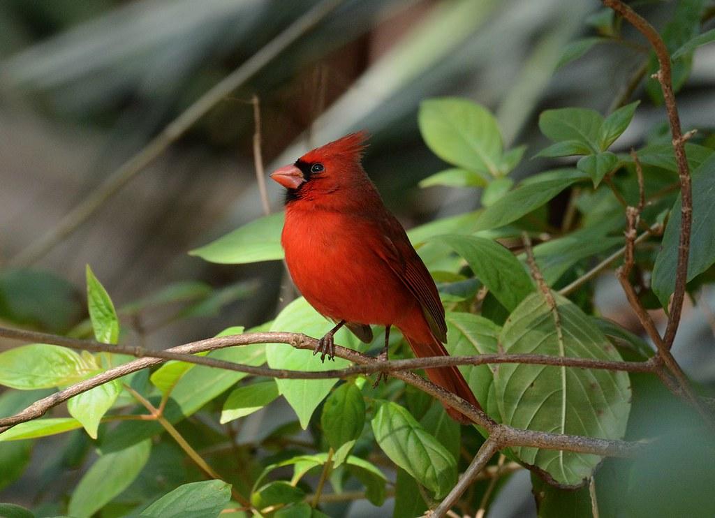 Image result for cardinal florida
