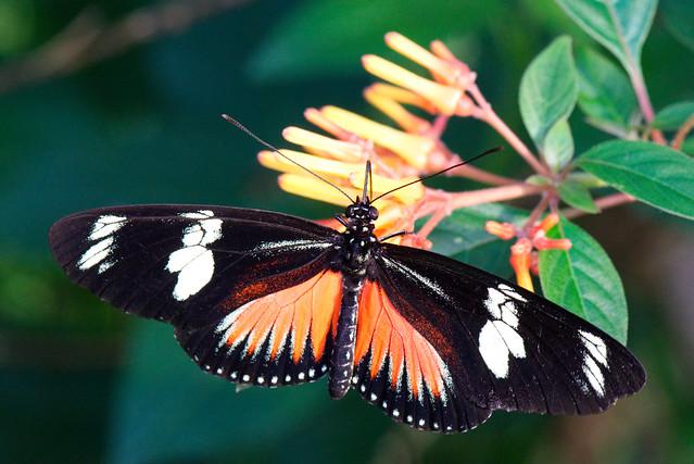 RedCrackerButterfly