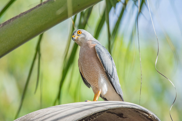 Shikra, seen and photographed in the garden of Footsteps Ecolodge, The Gambia