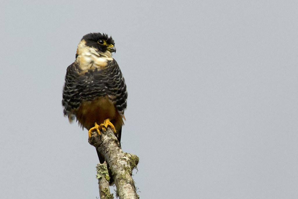 Bat Falcon in Ecuador