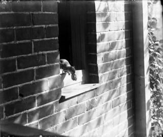 Squirrel stealing a butternut from a pantry, Ottawa, Ontario / Écureuil sortant d'un garde-manger avec une noix, Ottawa (Ontario)