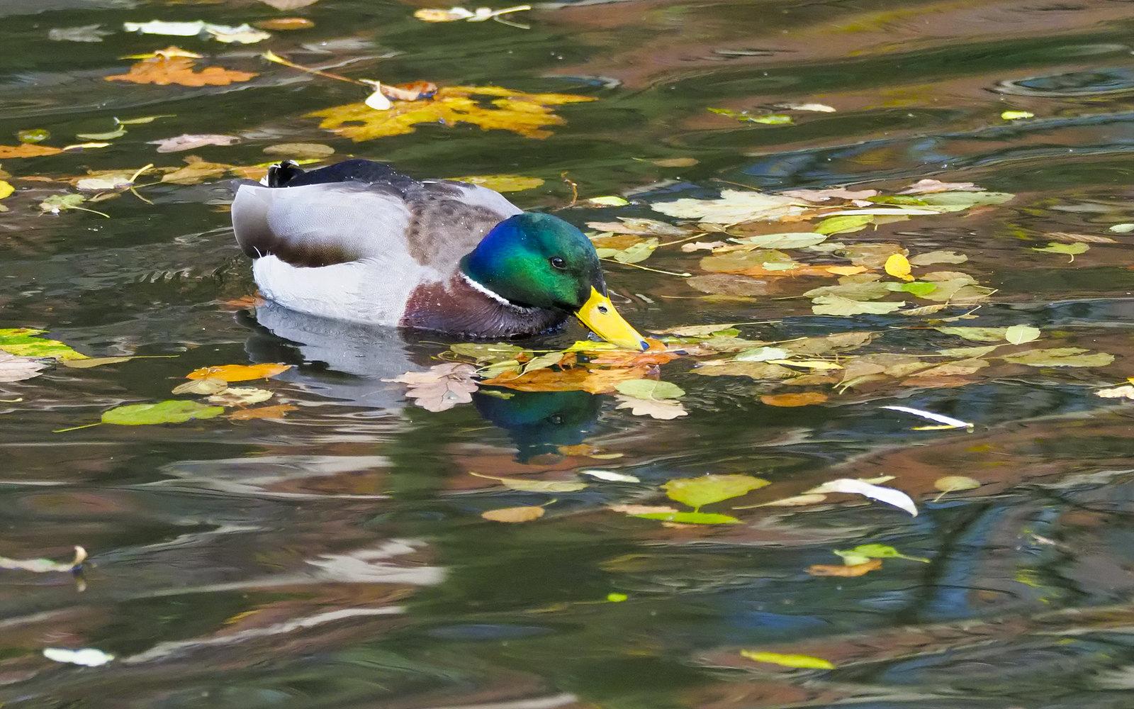 Mallard in Autumn river