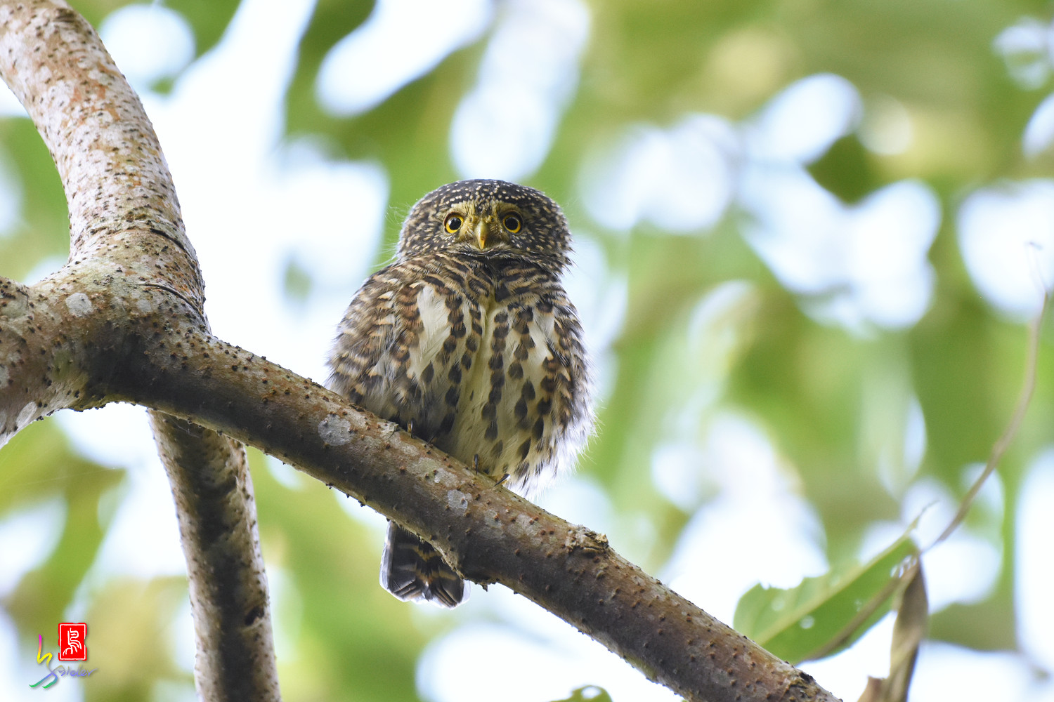 Collared_Owlet_4657