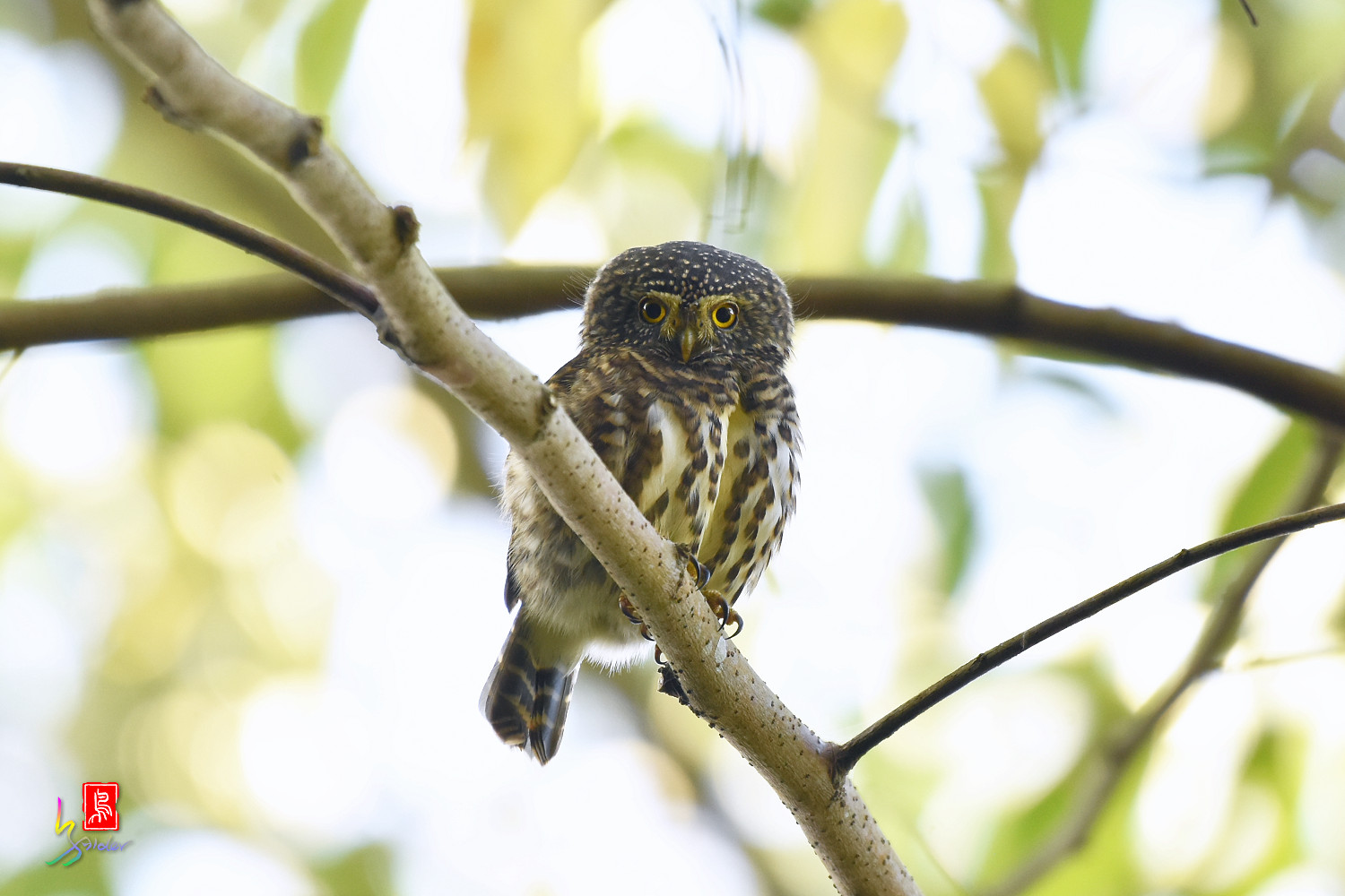 Collared_Owlet_4674