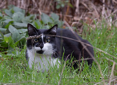Chat domestique - Felis silvestris catus - Domestic cat : Michel NOËL © 2019-8519.jpg