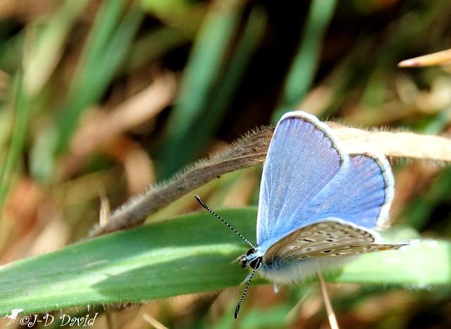 Azuré bleu céleste_05