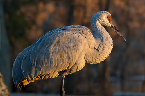 sandhillcrane kensingtonmetropark michigan sunrise