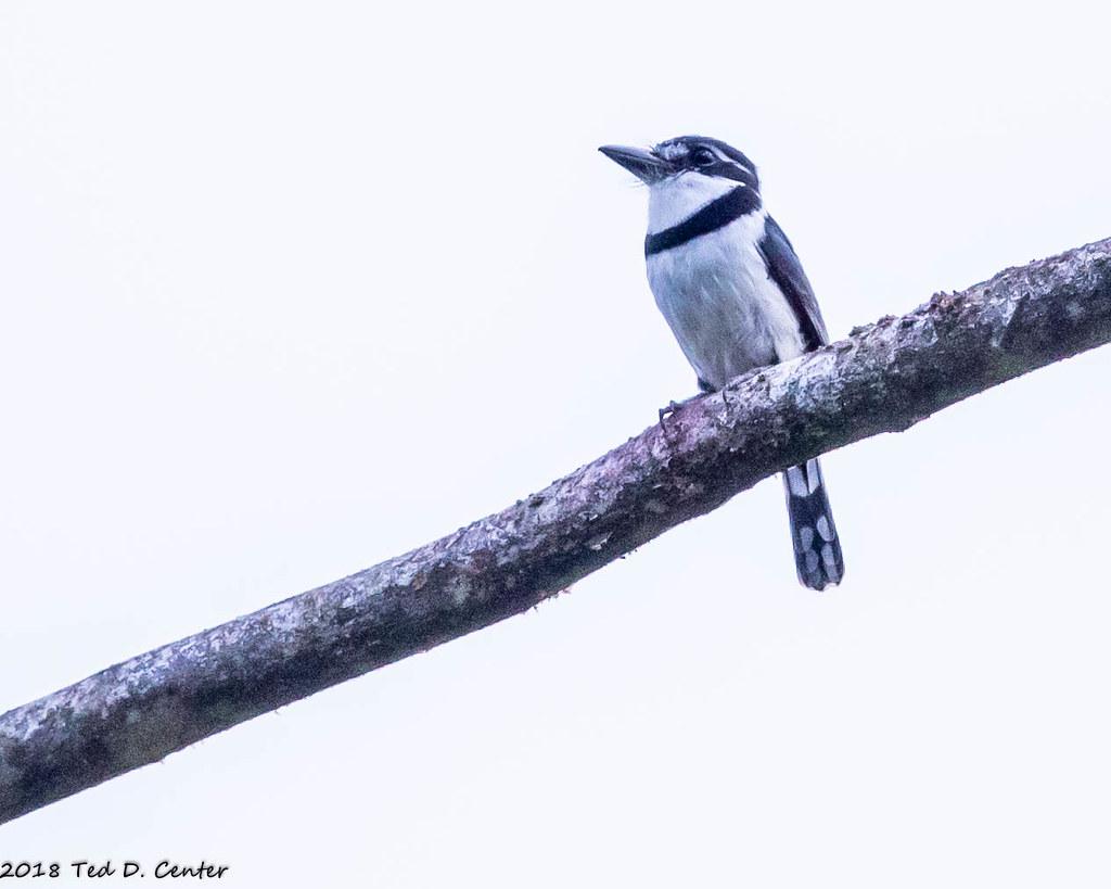 PUFFBIRD, Pied