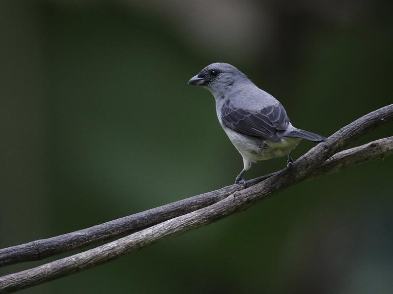 Plain-colored Tanager, Tangara inornata Ascanio_Panama 199A7391