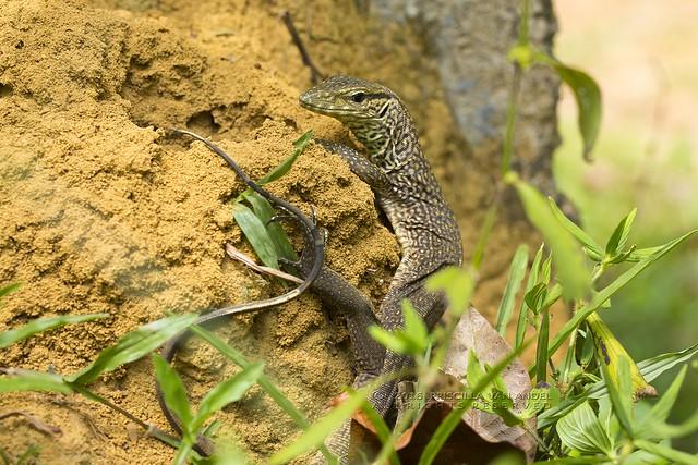 319A3448W Monitor - Varanus bengalensis juvenile Ratnapura sri lanka