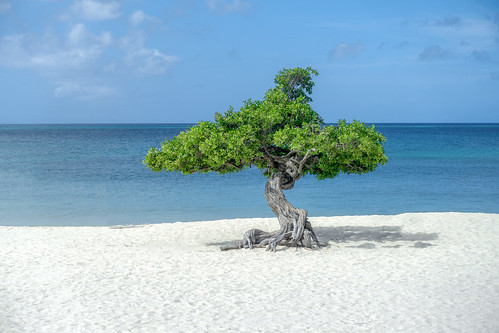eagle beach aruba sand sea caribbean tree divi