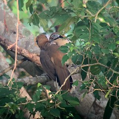 Greater Necklaced Laughingthrush allopreening