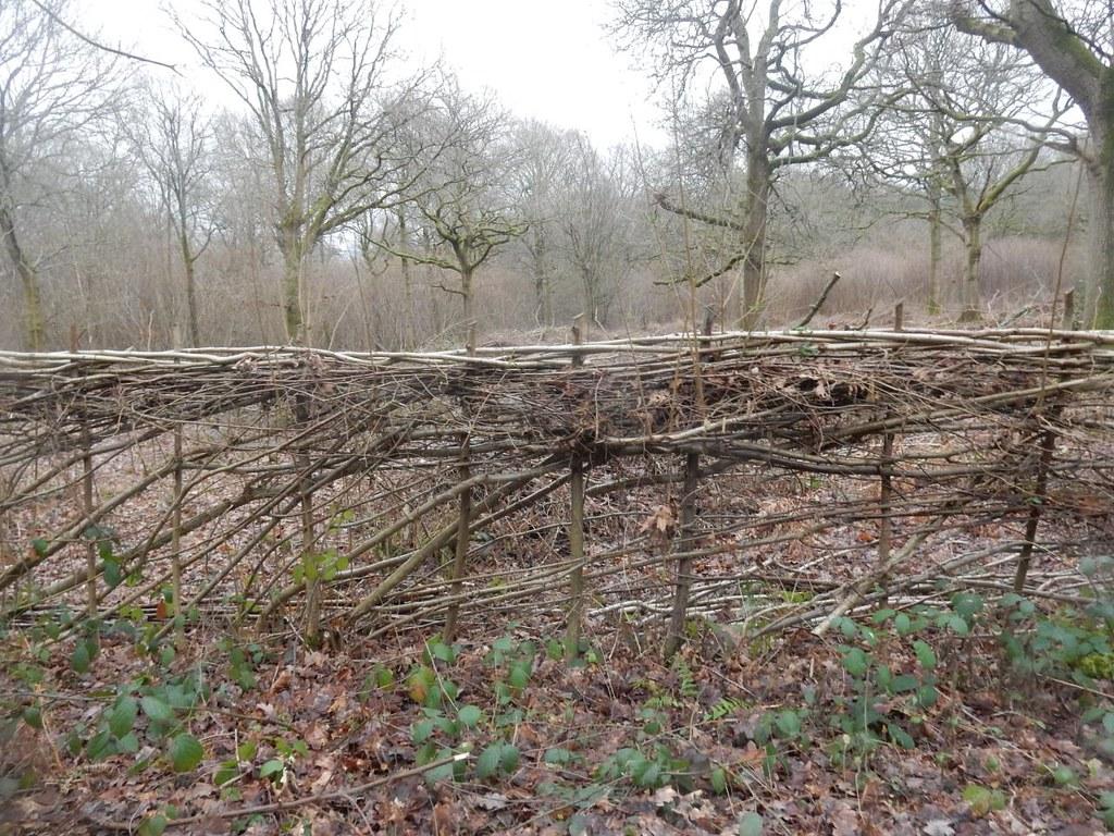 Laid hedge Holmwood to Reigate Hammonds Copse