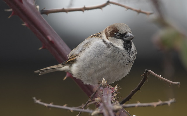 Perched house sparrow