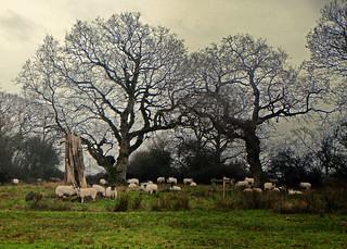 sheep 7 | by croslandadam