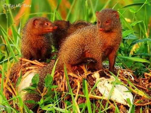 indiangreymongoose commongreymongoose herpestesedwardsi herpestes edwardsi mongoosefamily mongoosetribe mongooses mongooseclan wild wildlife nature mongooseden mongoosedenentrance