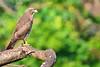 Grey-faced Buzzard Eagle by Ryukyu Mike