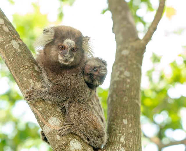 Sagui monkey in the wild in Rio de Janeiro, Brazil.  DSC04942