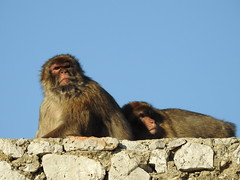 Barbay macaques, Gibraltar