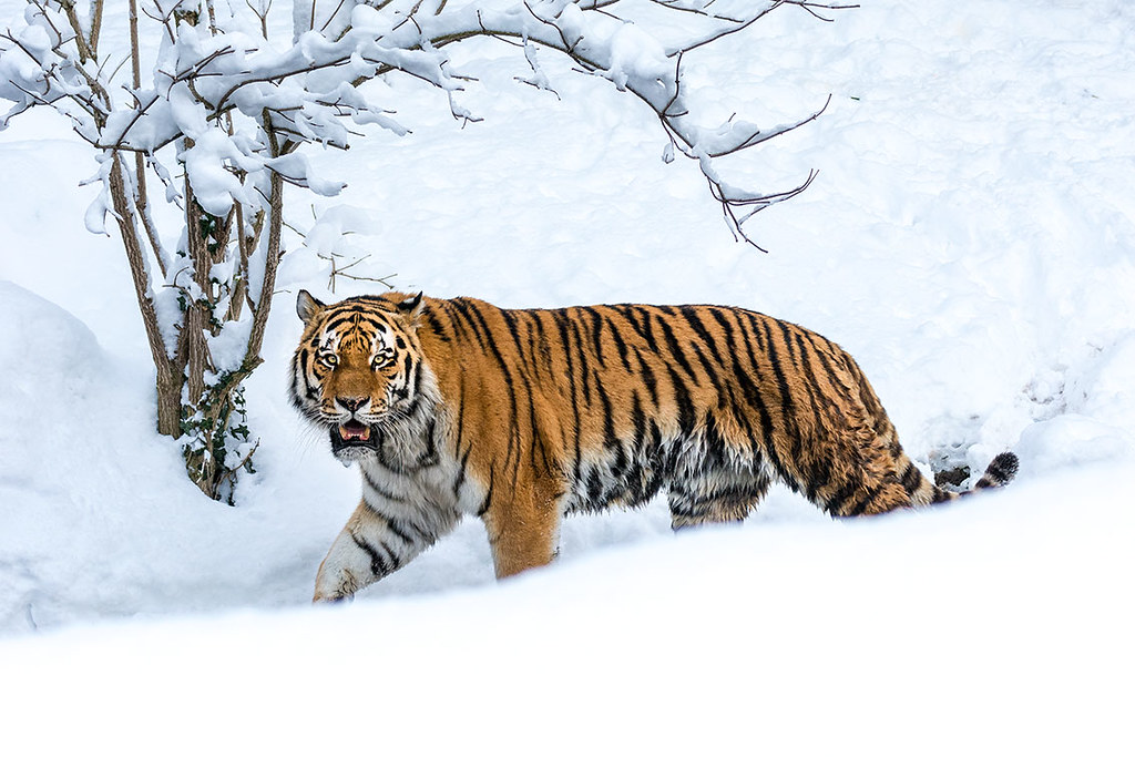 Snow Tiger | Tierpark Hellabrunn, München | Joerg Lutz | Flickr