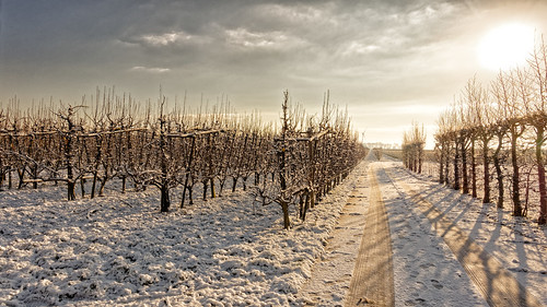 Pear Trees, Sun And Snow