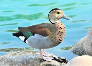 Ringed Teal | by Bobpkins