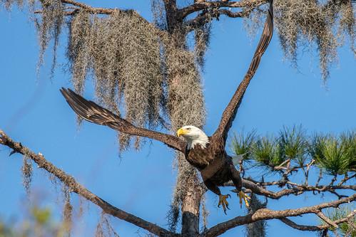 outdoor sky bif flight raptor eagle nature wildlife 7dm2 ef100400mm canon florida bird