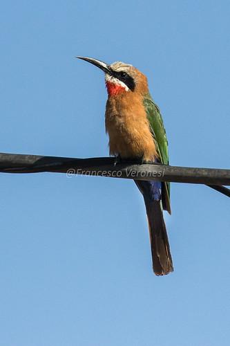 91beeeaters birds riftvalley kenya africa whitefrontedbeeeater