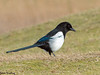 Husskade (Pica pica) - Eurasian Magpie - Elster - Urraca Común by Søren Vinding