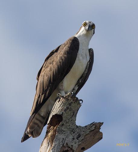Sea Hawk stare down | by MedicineMan4040
