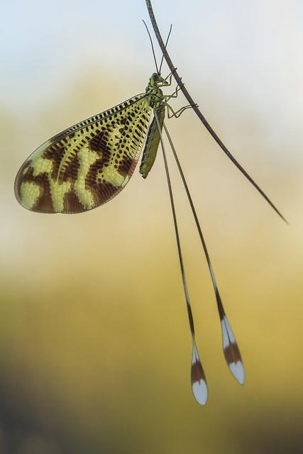 Nemoptera bipennis - reeditada