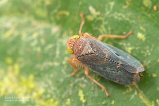 Leafhopper (Coelidiinae) - DSC_5506