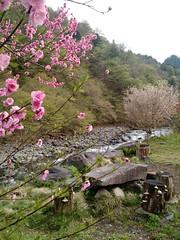 Nikkō sakura
