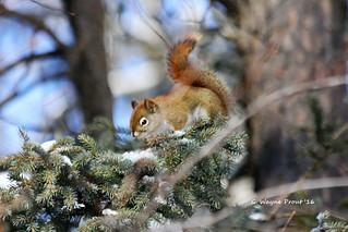 American Red Squirrel (Tamiasciurus hudsonicus) | by Gerald (Wayne) Prout (Will be off line for awhile)