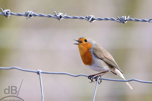 Robin and barbed wire | by sciencebase