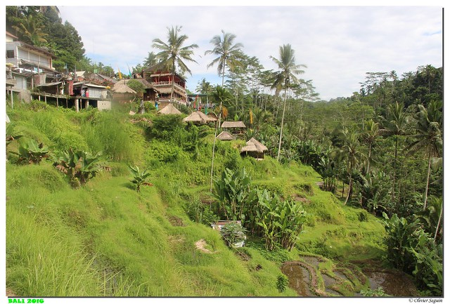 Indonesie - Bali - Ubud - Ceking Rice Terrace