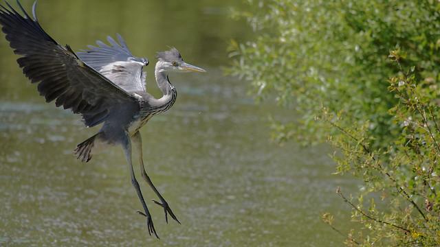 Jeune héron cendré de 2 mois (Grey heron born 2 months ago)