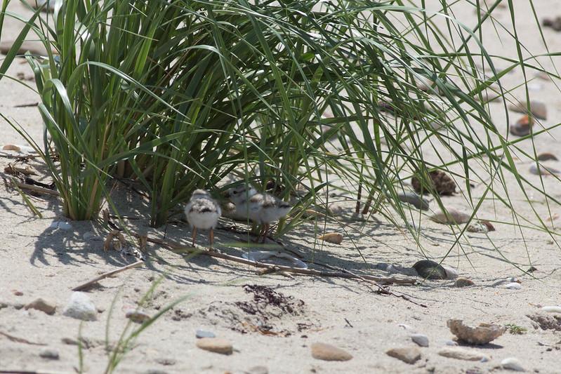 Piping Plover Chicks, North Shore, Nantucket, MA