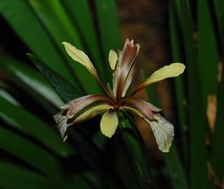 Iris foetidissima | by longk48