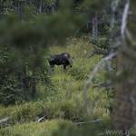Calf Moose along Glen Creek