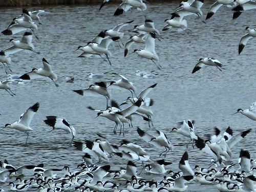 Avocets Recurvirostra avosetta | by david cawthraw