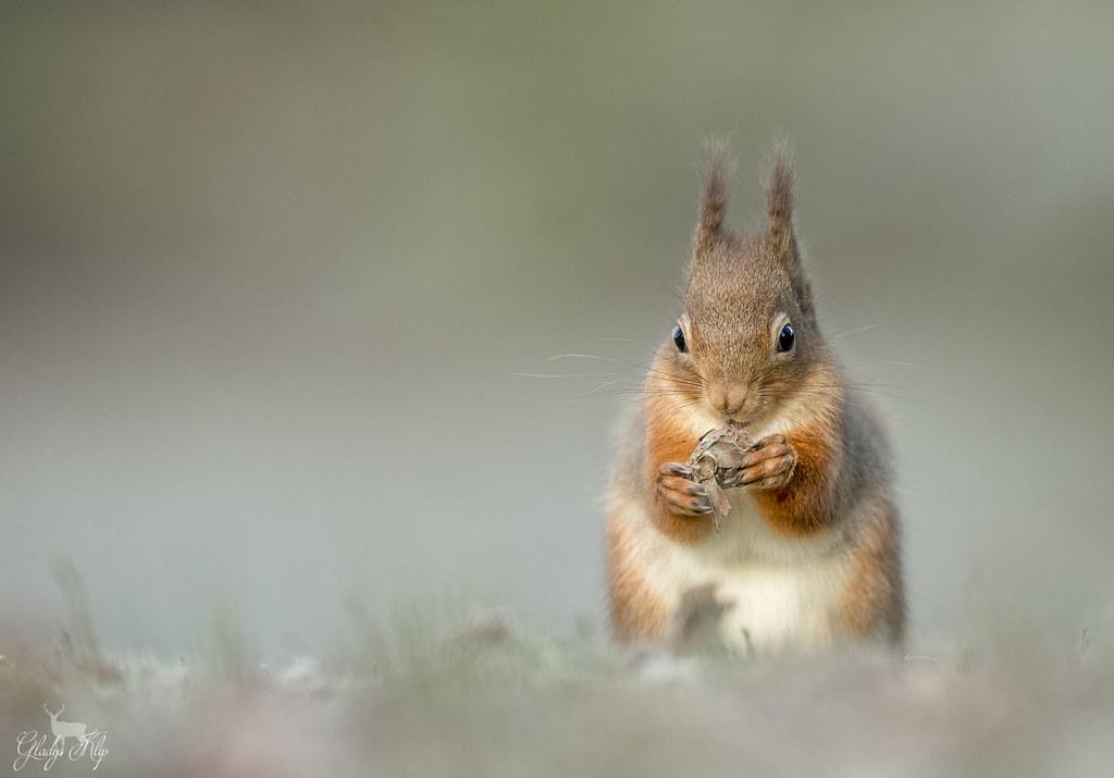Eekhoorn / Red squirrel / Écureuil