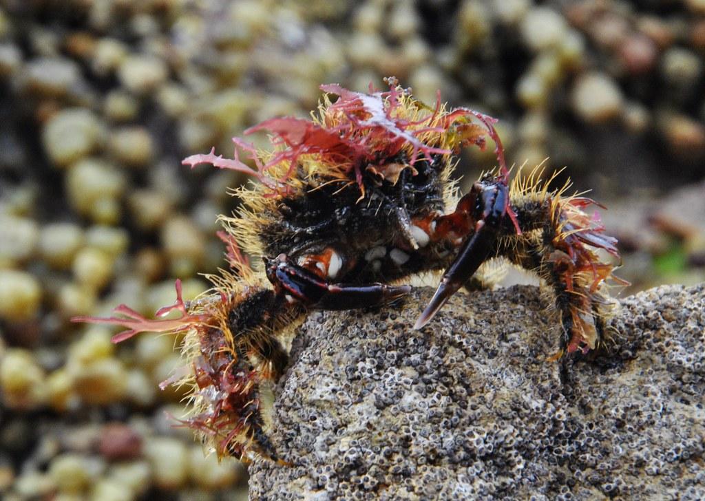 Graceful Decorator Crab Oregonia Gracilis Hahei Beach C Flickr